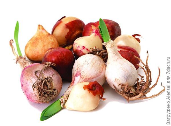 Луковицы и клубнелуковицы, обработанные гетероауксином