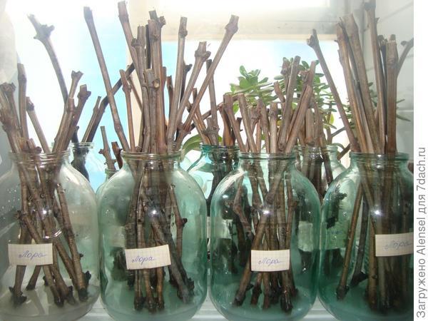 Замачивание черенков в растворе гетероауксина