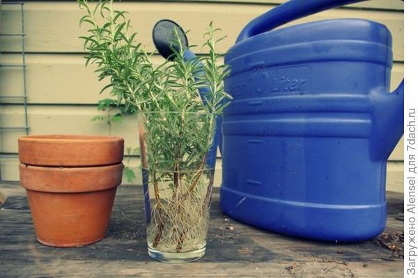 Раствор гетероауксина для замачивания корней