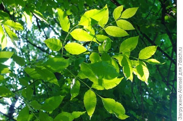 Листья ясеня