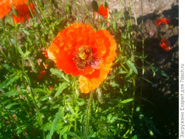 пчела на маке