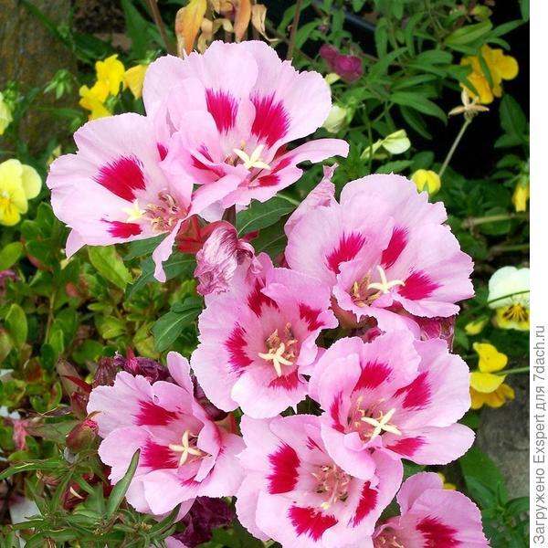цветение годеции
