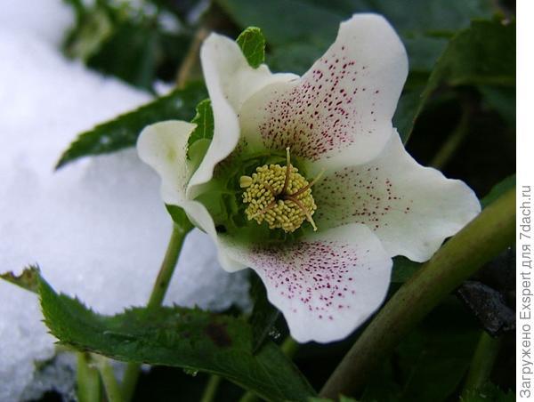 Морозник кавказский фото
