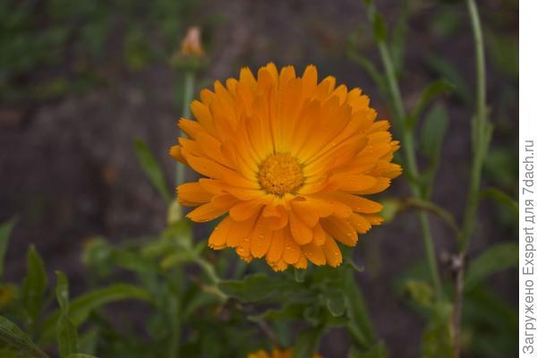 Цветы осени - календула