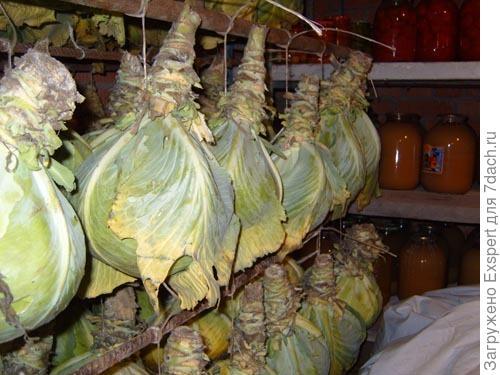 Хранение капусты.<br /> Фото с сайта http://img0.liveinternet.ru