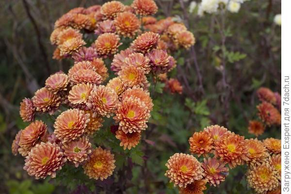 Цветы осени - хризантемы