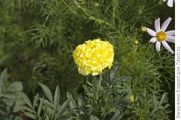 лимонные бархатцы