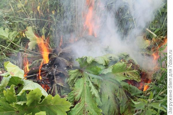 Ритуальное сожжение борщевика