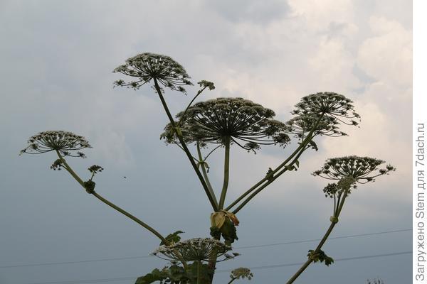 Цветы борщевика