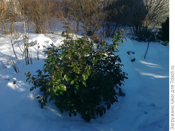 Магония на снегу