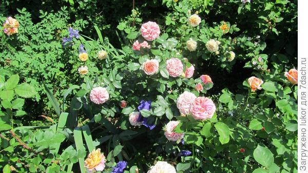 роза Чипендел