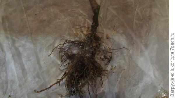 мочковатый корень саженца яблони