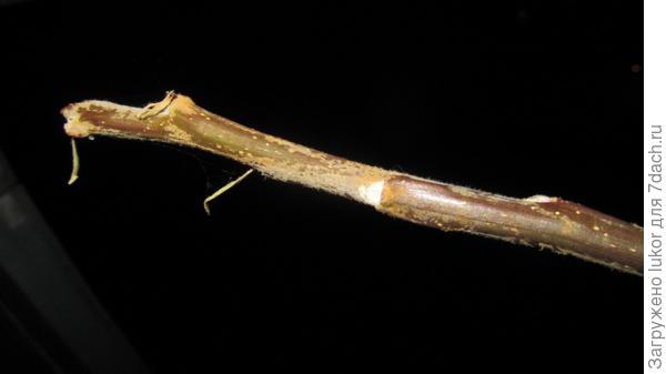 Верхушка побега саженца без листьев