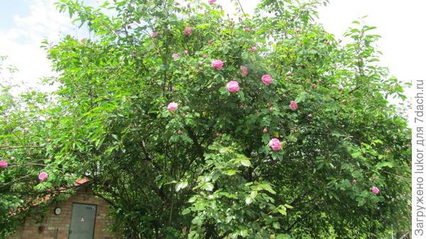 Роза на вишне