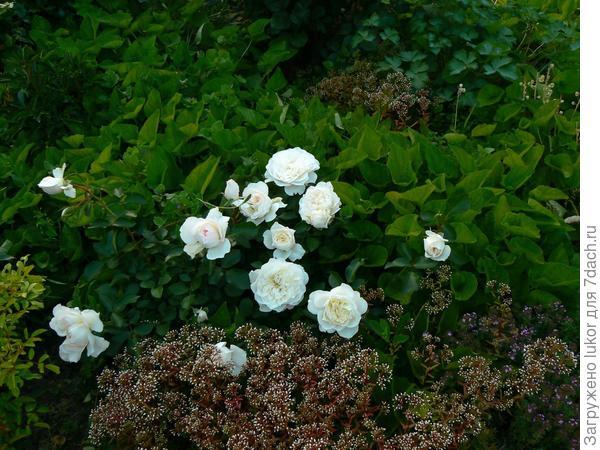 очитки под розами