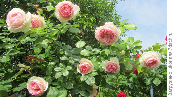 """""""Eden rose"""". С этой розы началась мое увлечение розами."""