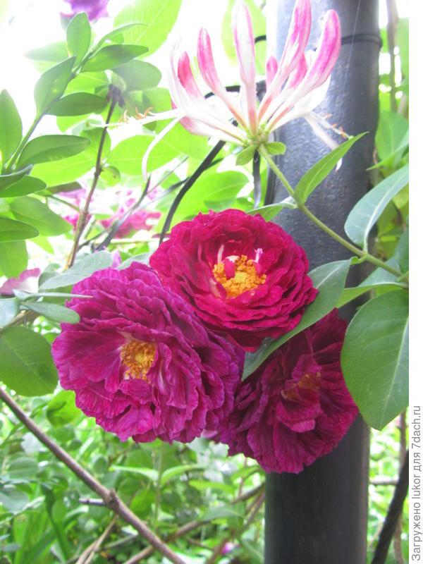 Розы с жимослостью