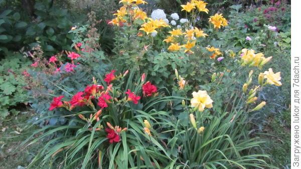 Лилейник приходят на смену розам в июле