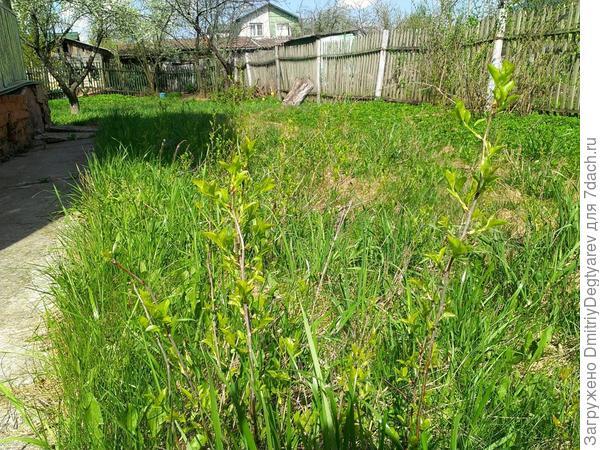Дубовая роща посреди газона