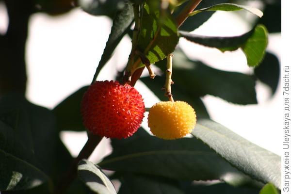 Деревья с цветками ландыша и плодами земляники