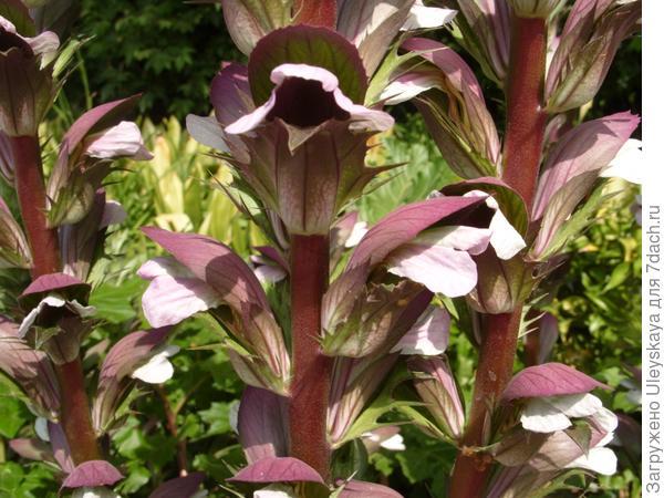 Что за растение акант?