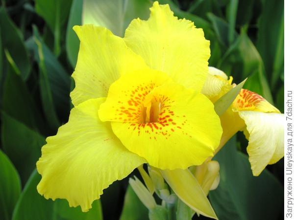 Цветет канна сорт 'Suevia'