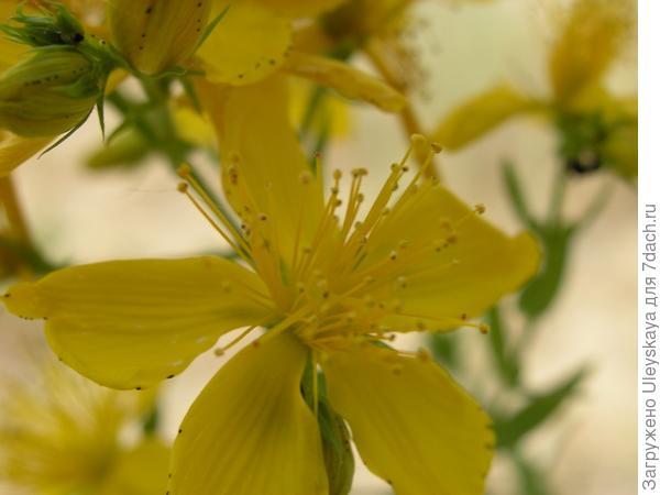 Цветок зверобоя продырявленного