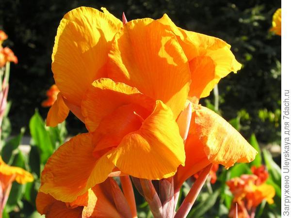 Цветет канна сорт 'Feuervogel'