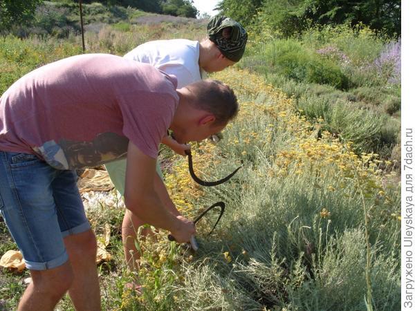 Студенты помогают скашивать траву итальянского бессмертника