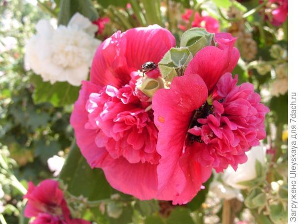 У махровых сортов  шток-розы своя - двойная красота