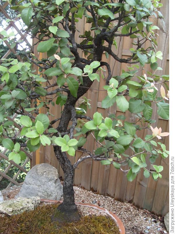 Дуб каменный (Quercus ilex).