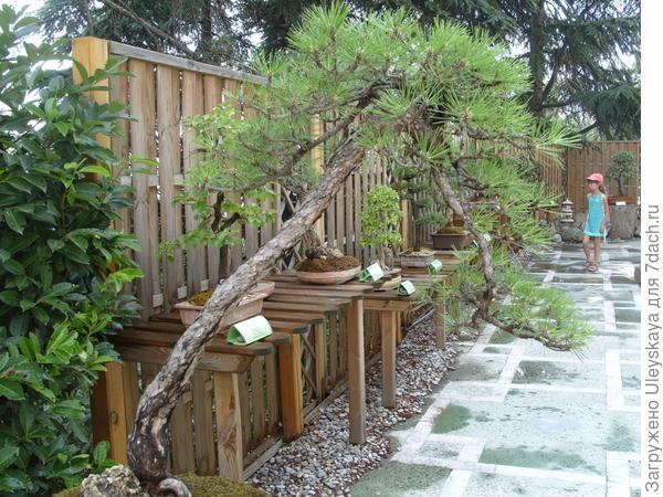Сосна крымская (Pinus pallasiana).