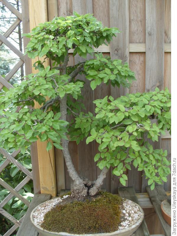 Граб восточный (Carpinus orientalis).