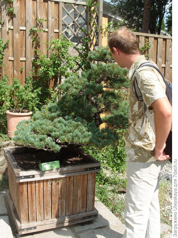 Сосна мелкоцветная (Pinus parviflora).