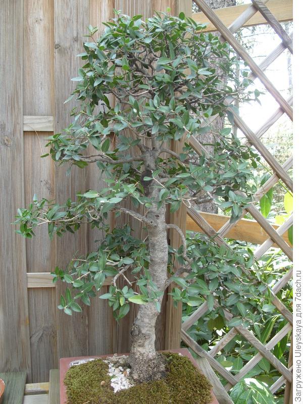Филлирея узколистная (Phillyrea angustifolia).