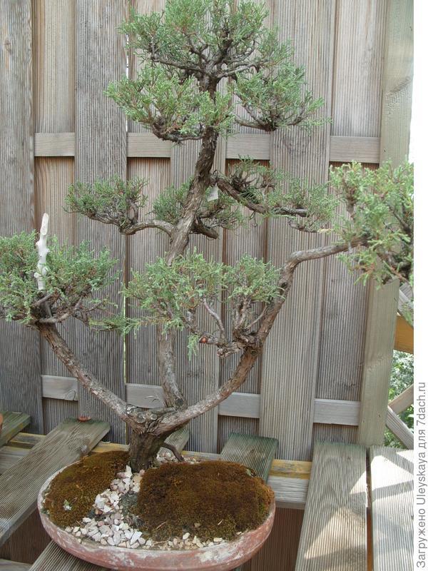 Можжевельник высокий (Juniperus excelsa).