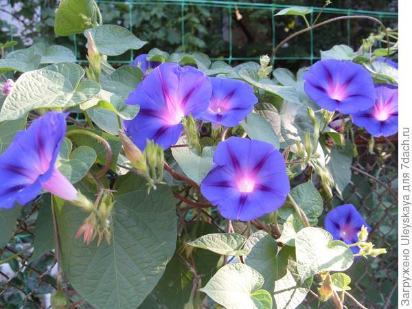 Ипомея пурпурная в декорировании лёгкого ограждения