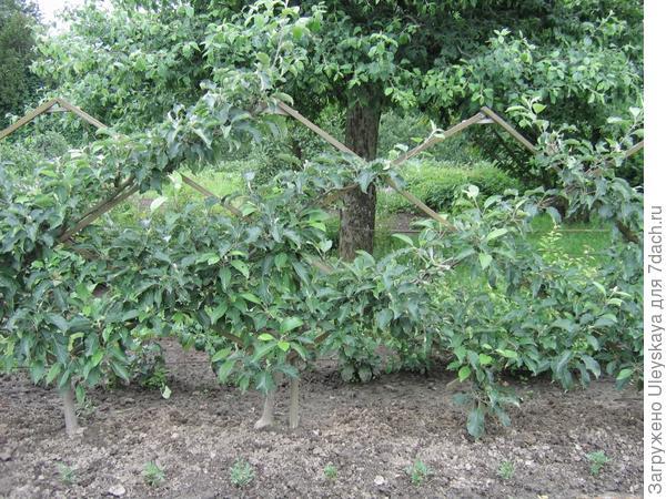 Шпалерная плодовая живая изгородь