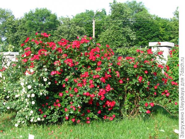 Красивоцветущая живая изгородь из роз
