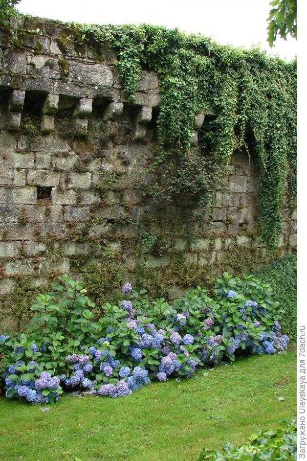 Живая изгородь из гортензий прекрасно сочетается с каменной стеной
