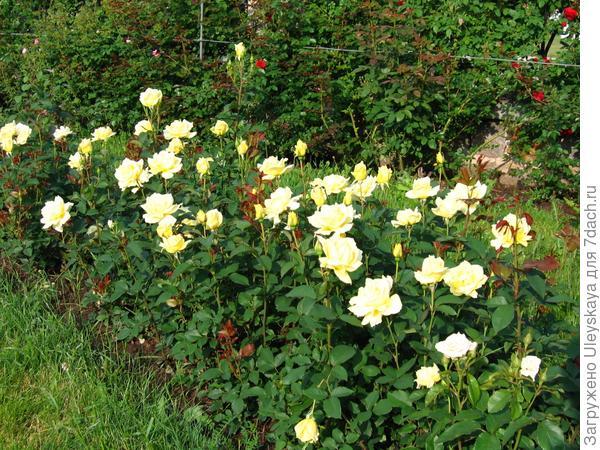 Розы в свободно растущей живой изгороди