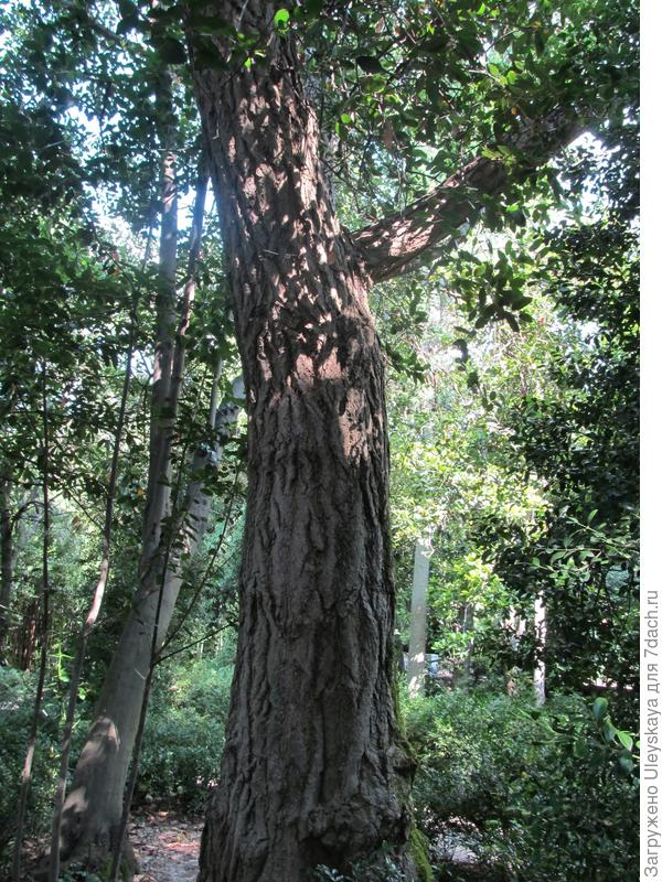 Гинкго двулопастный, Никитский ботанический сад
