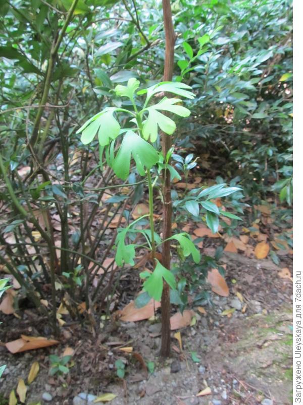 Молодой, предположительно мужской, экземпляр гинкго двулопастного, посаженный рядом со старым деревом.