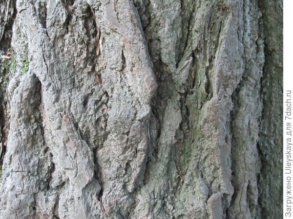 Ствол самого старого дерева гинкго двулопастного в Украине
