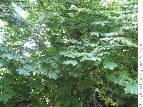 Листья конского каштана обыкновенного 'Бауманнии', поврежденные минирующей молью