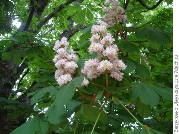 Цветёт конский каштан обыкновенный 'Бауманнии'