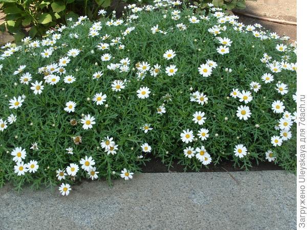 Аргирантемум - коврое растение