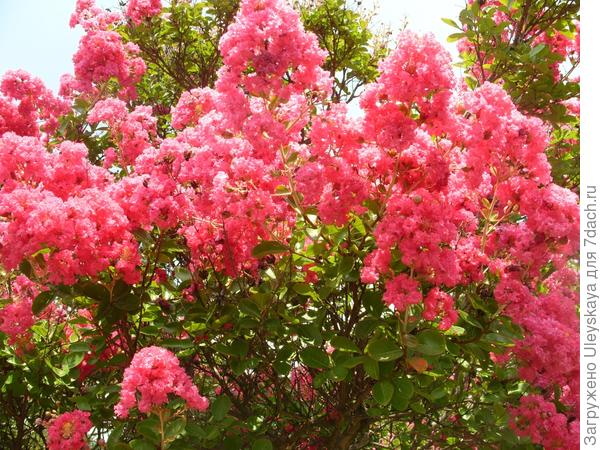 Ослепительная красота цветения лагерстремии индийской