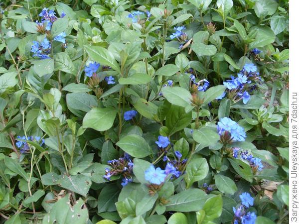 Голубой ковёр из цератостигмы плюмбаголистной