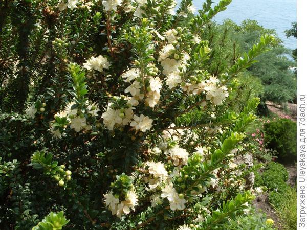 Декоративная форма мирта с махровыми цветками